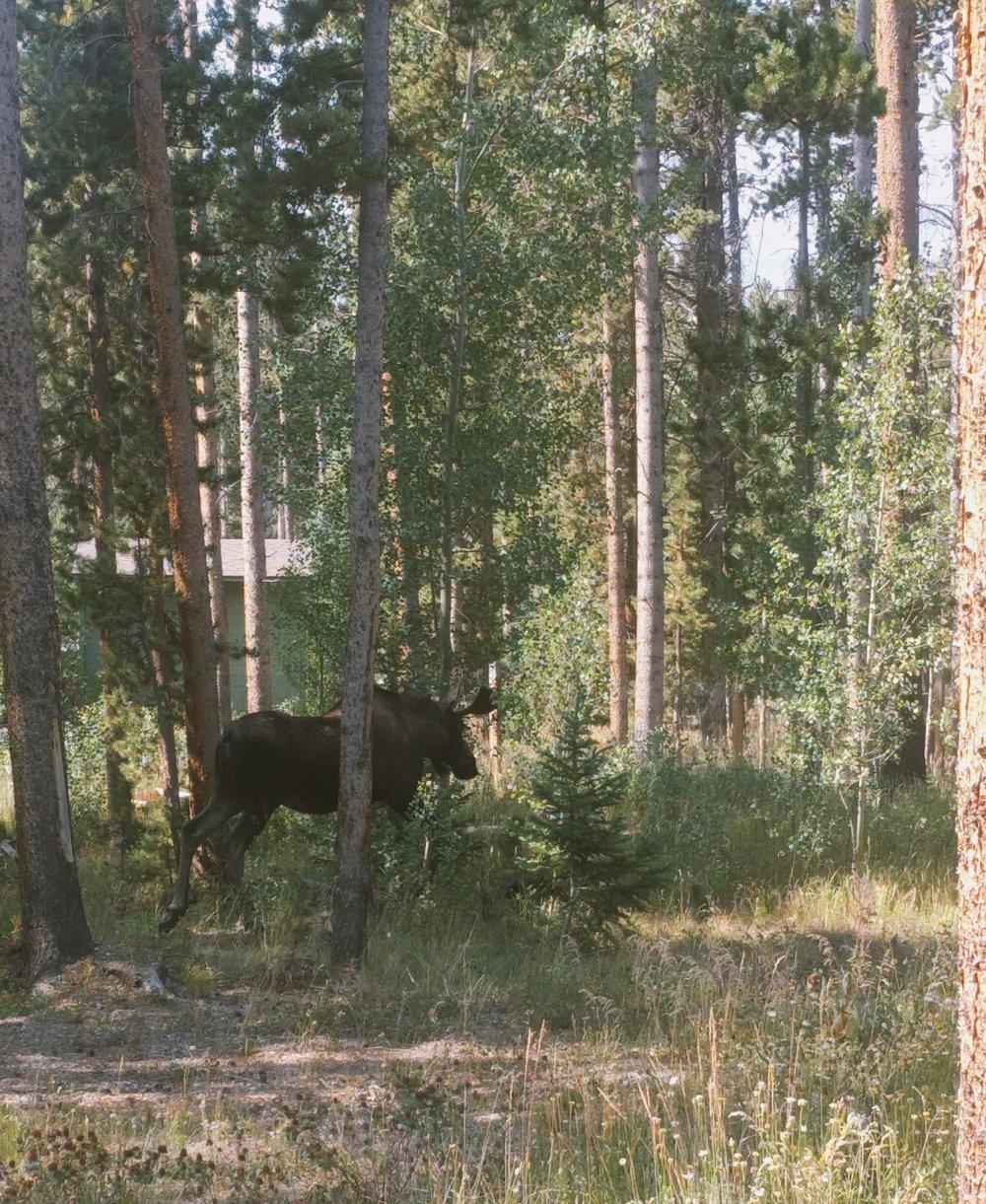 cabin-life-wildlife-moose