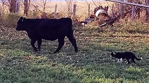 cow dog1.jpg