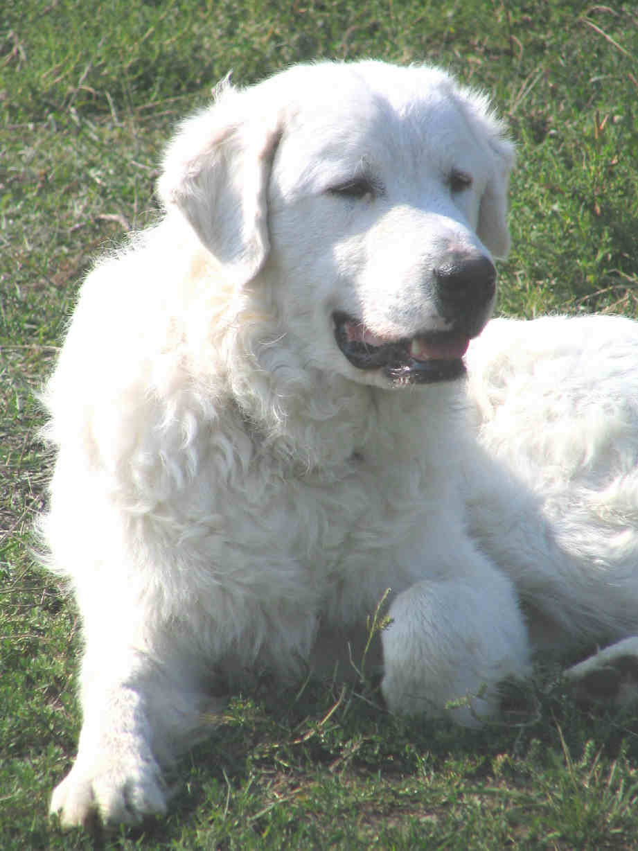 Guardian Dogs - Life with sheep would be significantly more difficult without good Livestock Guardian Dogs.