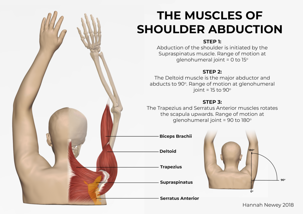 FINAL CT SCAN IMAGE 1 of 2_Muscles of shoulder abduction_Hannah Newey.png