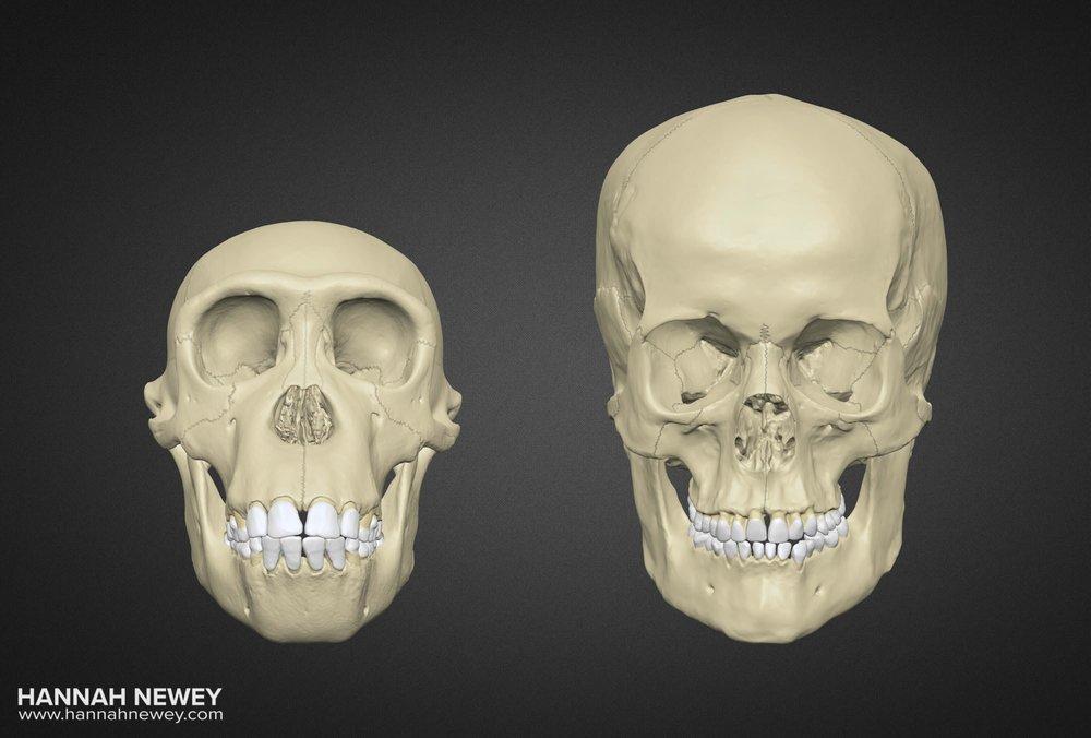 Bonobo and Human Skulls_Front view_Hannah Newey
