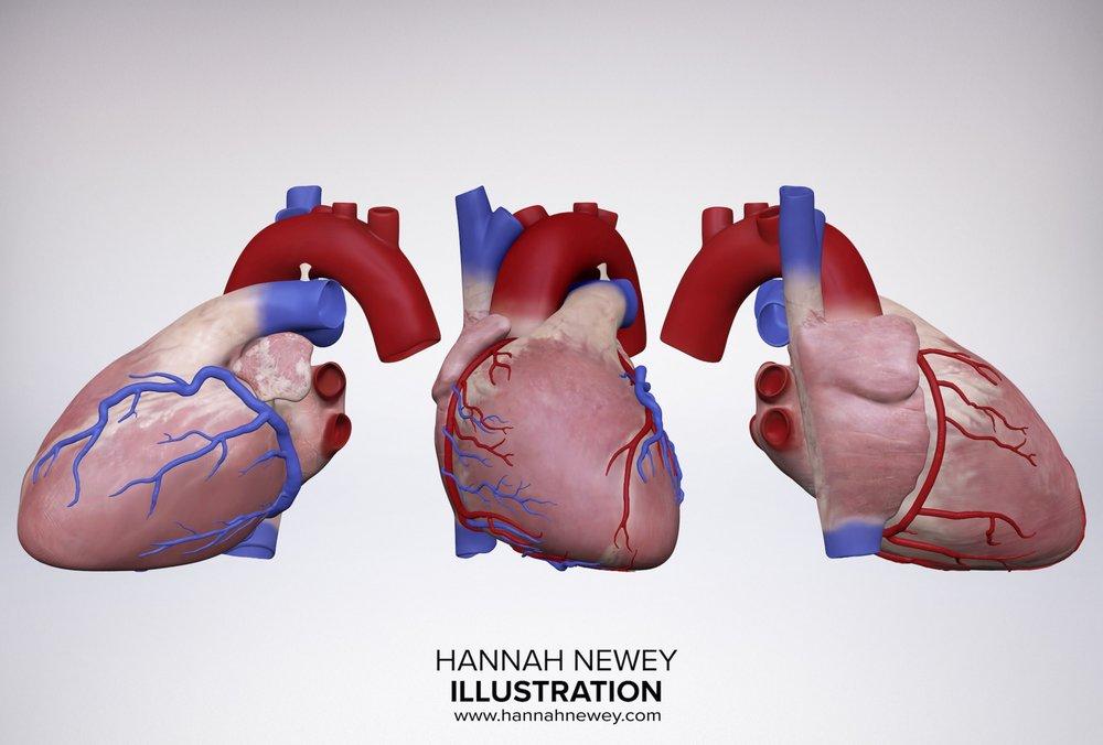 Heart models three_Hannah Newey