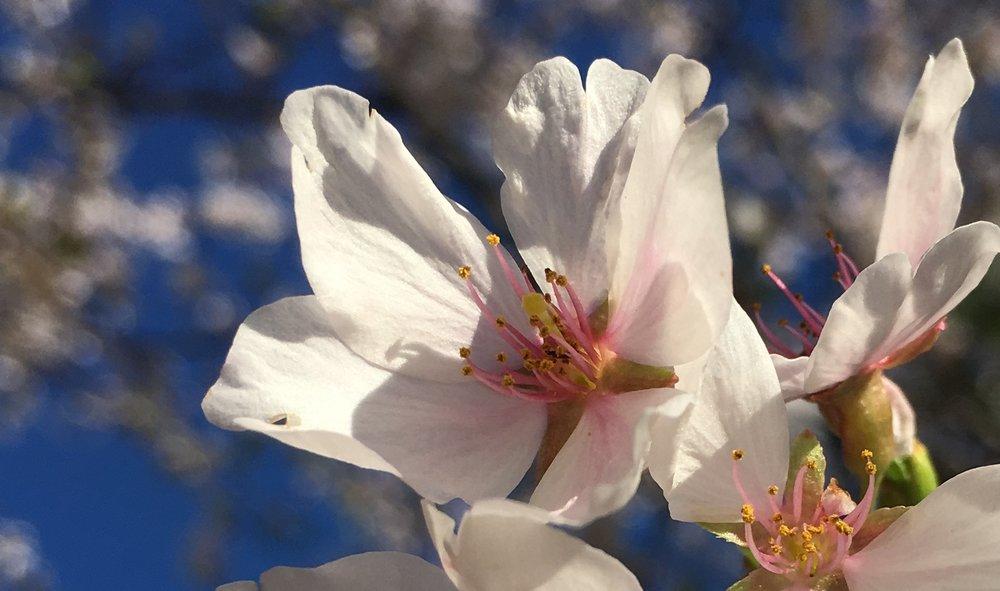 White blossom crop.jpg