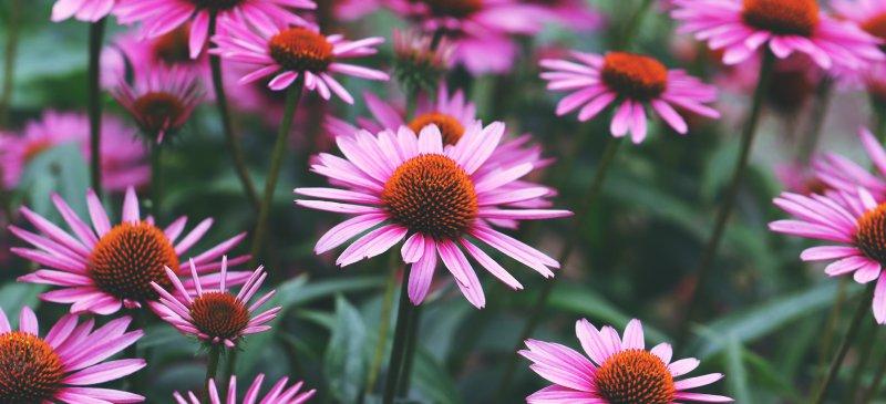 Echinacea-Uses_HEADER.jpg