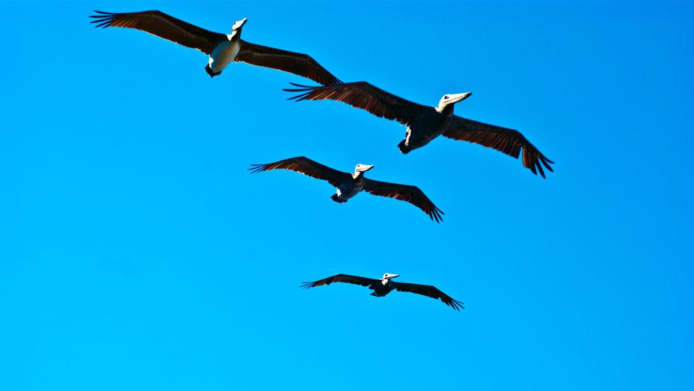 pelicans2.jpg