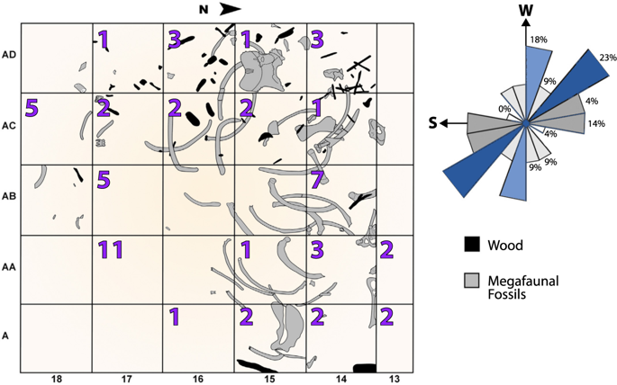 Grid map of megafaunal (proboscidean) bone and human lithic distributions. Bones (gray) mapped during the excavation are oriented to the SW-NE (23%) and SSW-NNE. Orientation of the proboscidean bones suggests the animals died in situ . Carnivores were possibly responsible for alteration and/or removal of some bones. Purple numbers represent the quantity of human lithics found in each grid. There is no current evidence that humans modified the bones, although the presence of numerous closely associated lithics suggests significant human interaction with the extinct proboscidean remains.