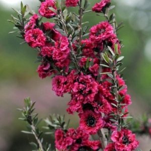 leptospermum scoparium , or the Manuka bush