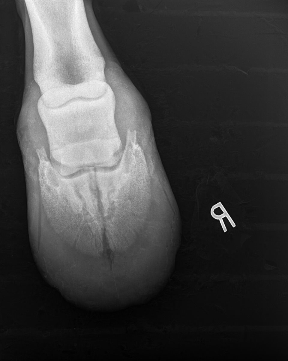 Radiograph of Temptress' right foot shortly after the accident.