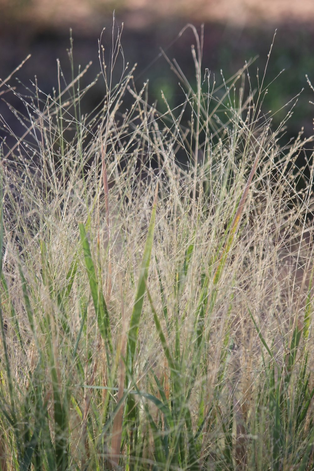 Native Millet Panicum decompositum