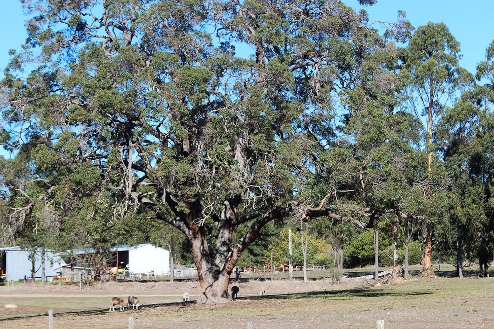Big river gum at Payneham Vale Organic Farm,  Frankland River