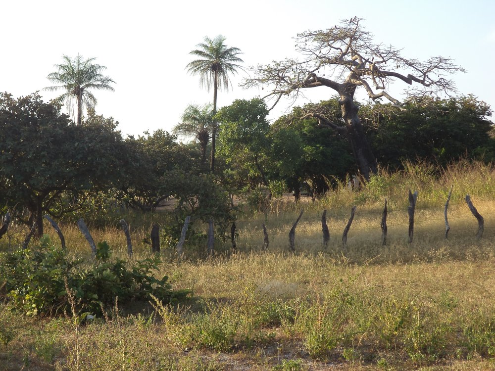 The Baobab Tree of Jaliya Camp