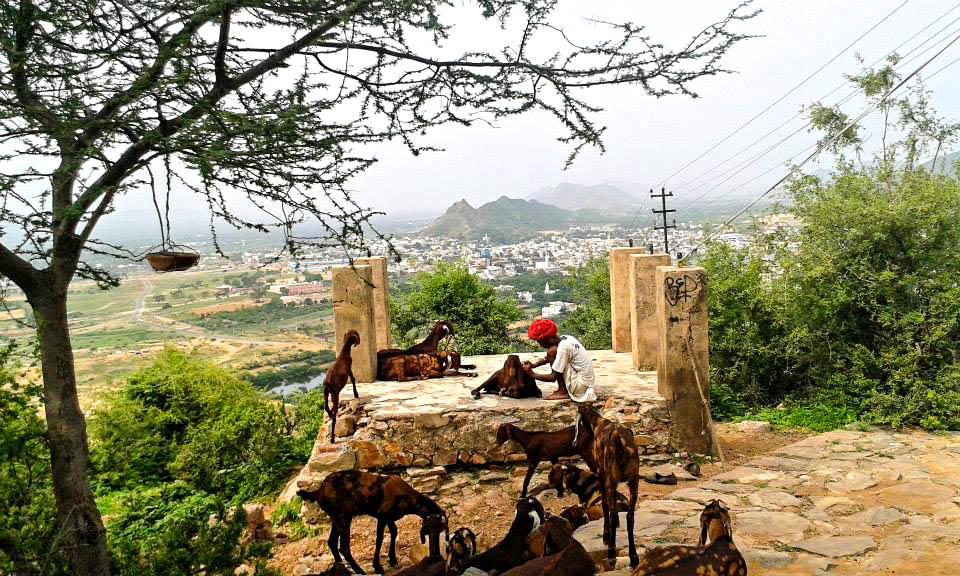goats, Pushkar.jpg