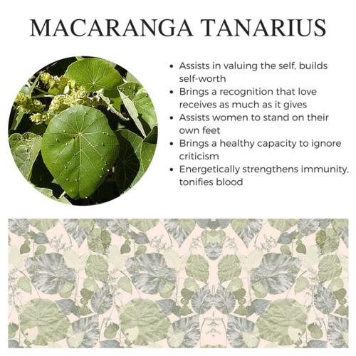 Macaranga Tanarius.png