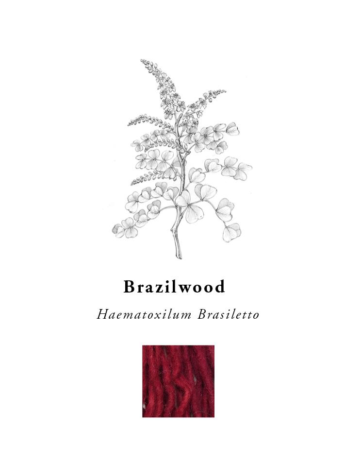 natural-dye-plants-madda-studio-Brazilwood.png