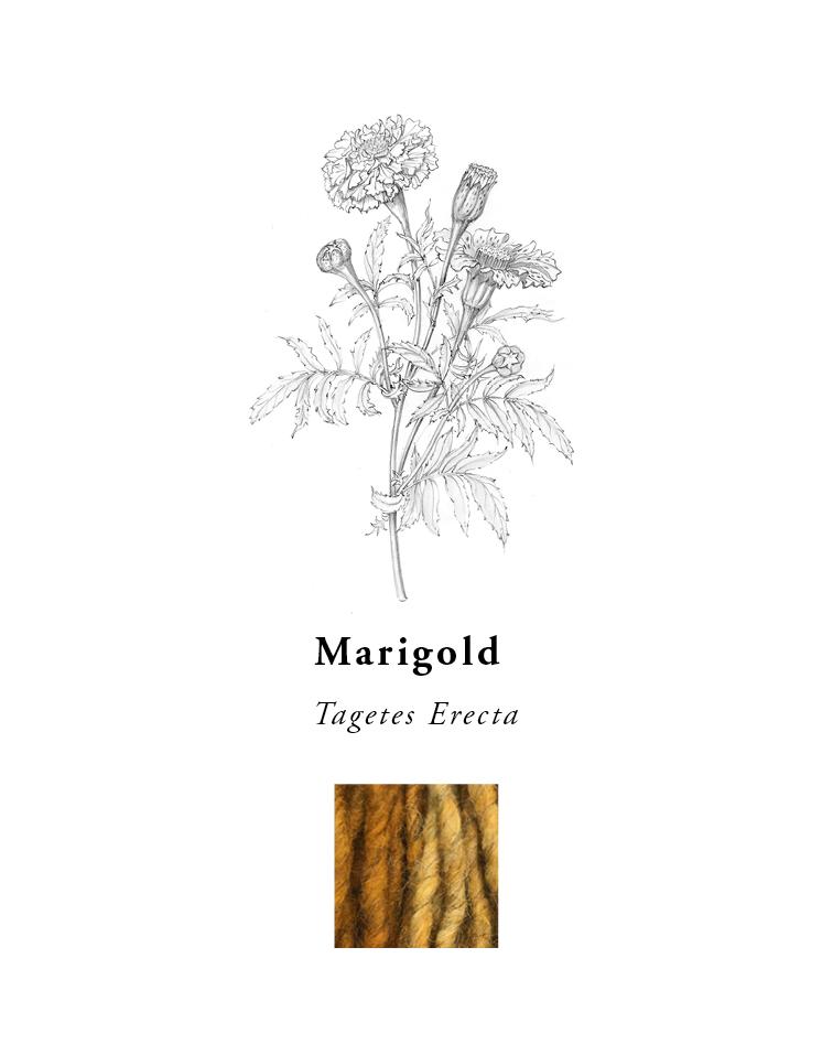 natural-dye-plants-madda-studio-Marigold.png