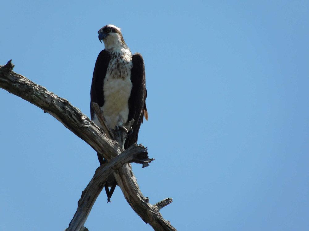 perchedosprey.jpg