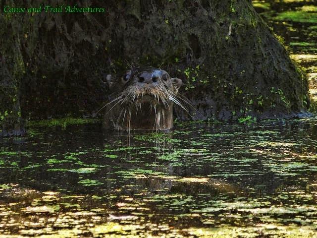 River-Otter.jpg