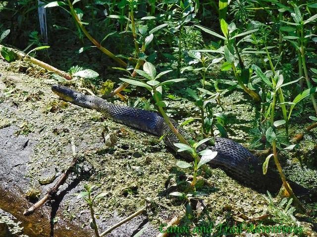 Mississippi Green Snake