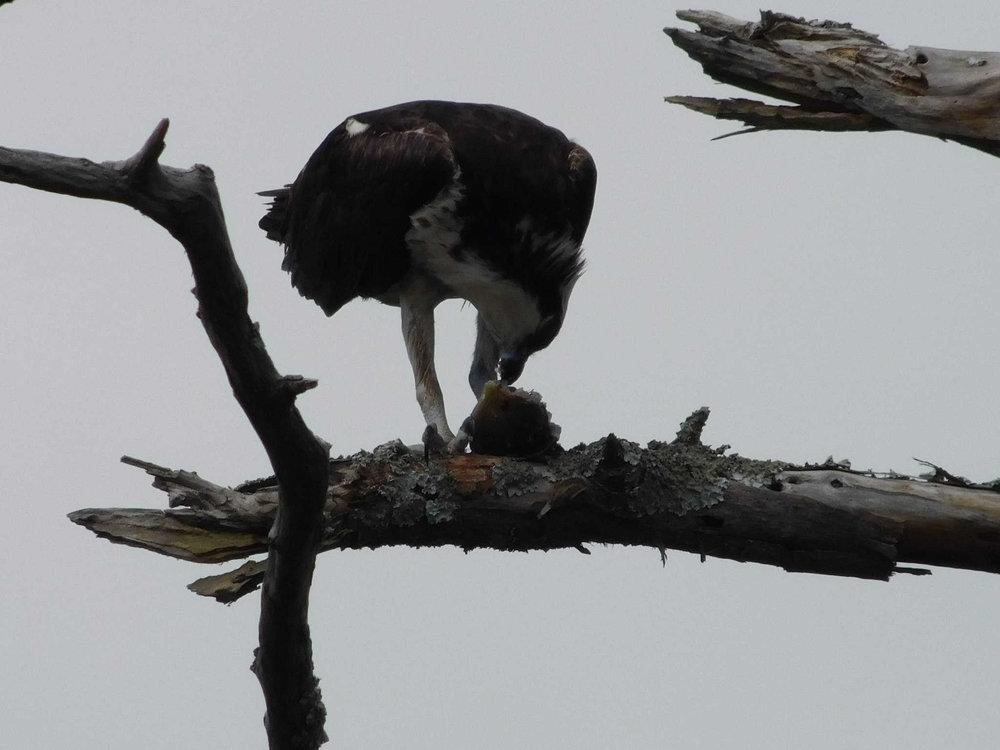 osprey111.jpg