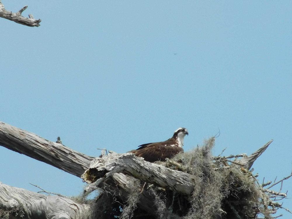 osprey112.jpg