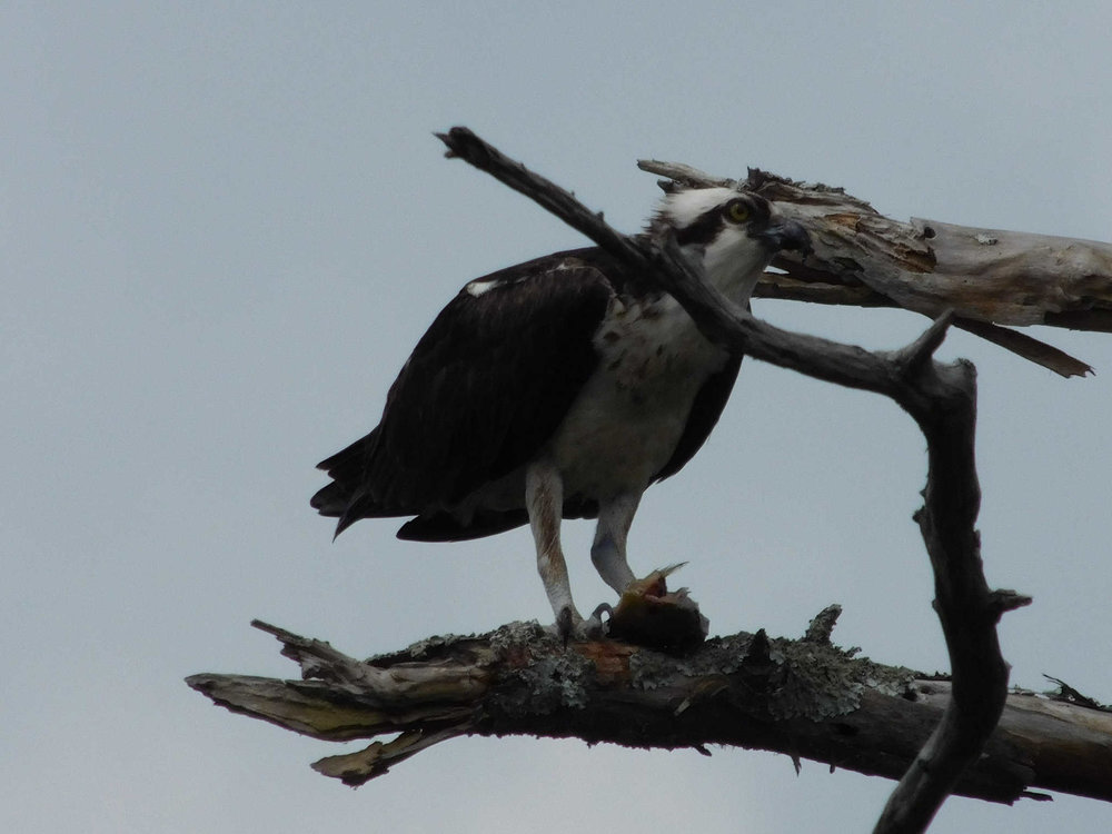 osprey113.jpg