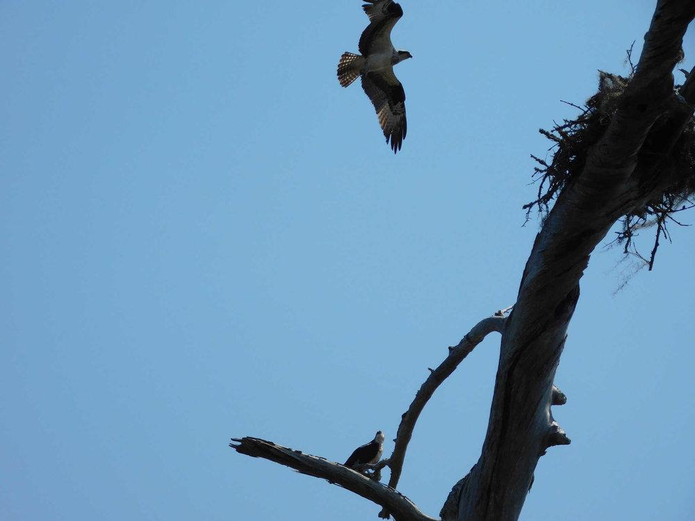 osprey115.jpg