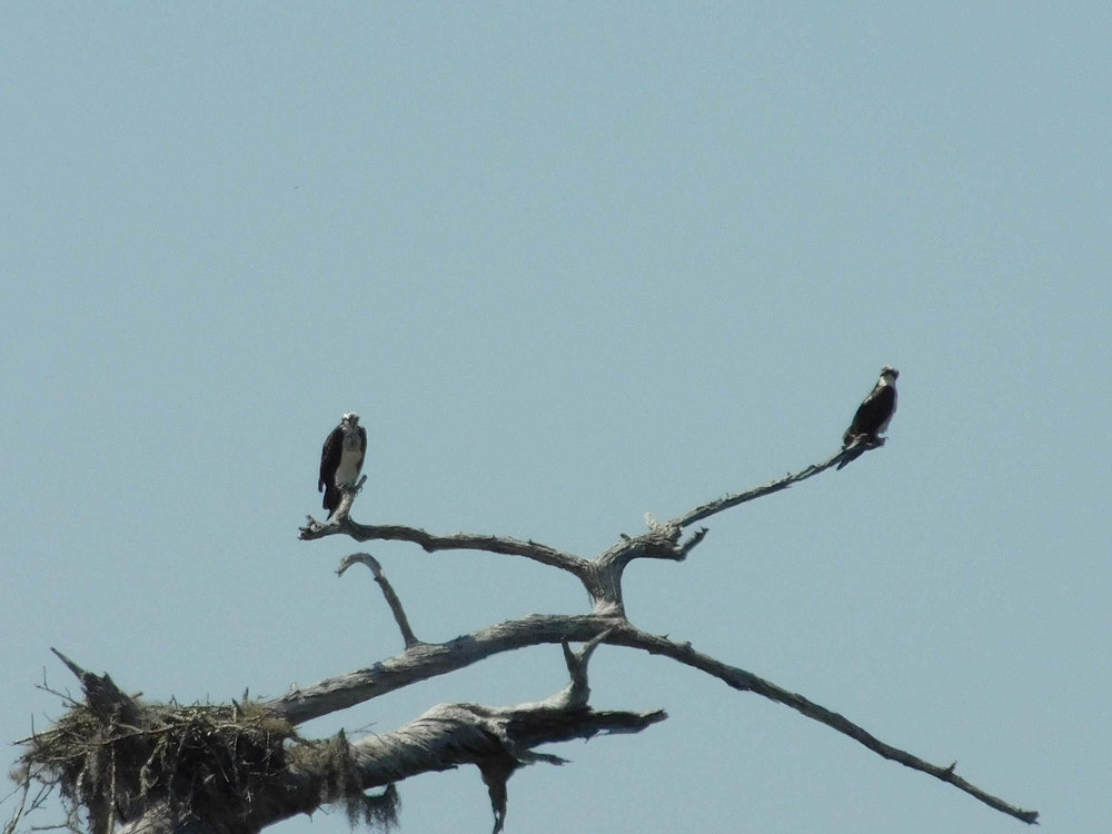 osprey118.jpg