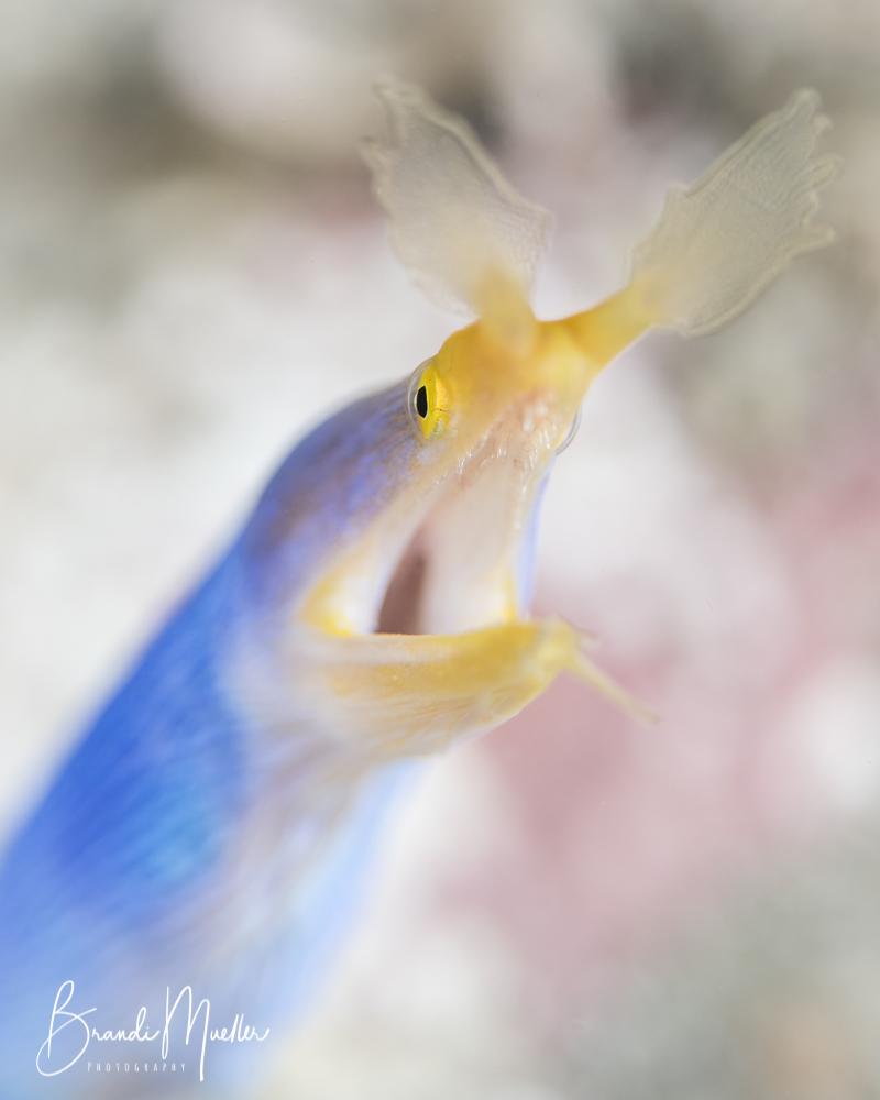 Blue Ribbon Eel, Lembeh Strait