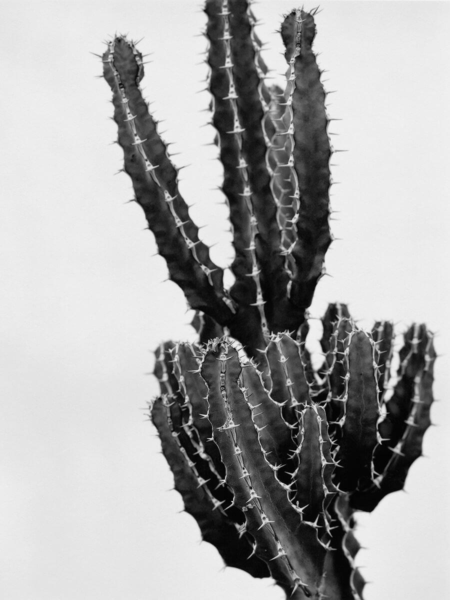 Euphorbia Grandiloa
