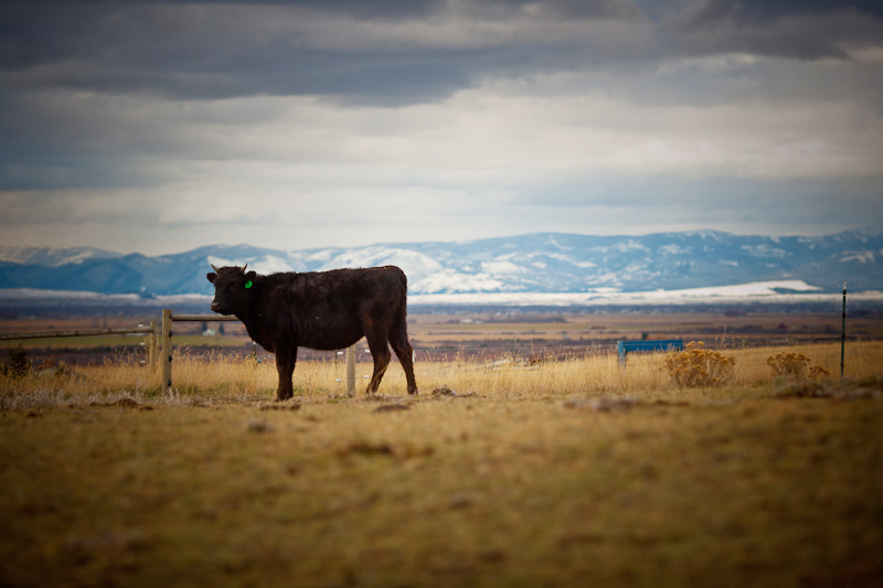 Montana Wagyu Cattle Co. - Ale Works proudly eliminated commodity burger entirely from our menu in 2013 – no small feat for an establishment of our volume – by forging a mutually beneficial partnership with a cooperative of Montana family ranchers who were seeking a dependable, high-volume home for their ground beef.Under the umbrella of the Montana Wagyu Cattle Company in nearby Belgrade, our proprietary Ale Works burger blend – 50% Angus/50% Wagyu (i.e. American Kobe) – is 100% Montana pasture-raised, hormone and antibiotic-free.It's all about flavor and quality, while supporting small scale producers of naturally raised cattle processed in-state, just 80 miles from Bozeman in Butte, MT, further reducing food miles from pasture to plate.