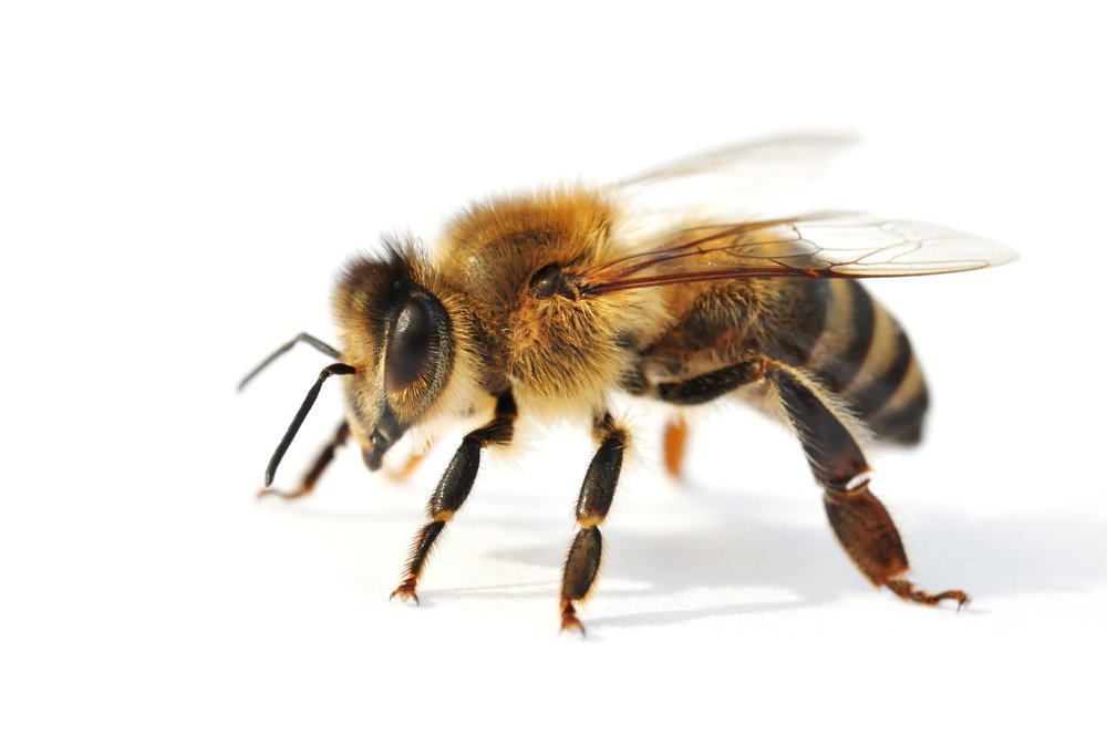 - Bee/Beehive Removal