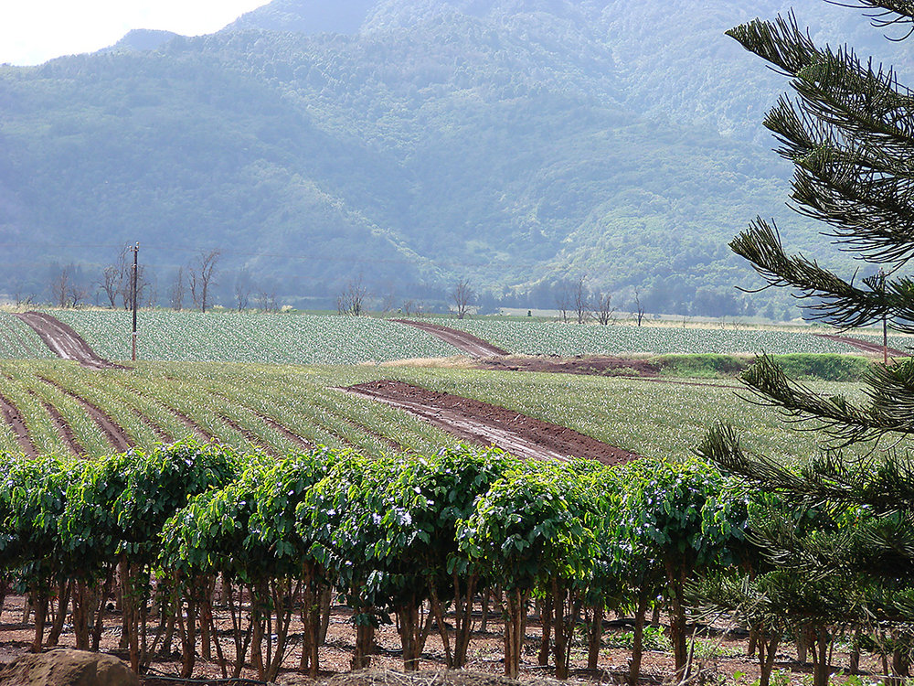 Oahu coffee plantation photograph (c)Marnie Adams