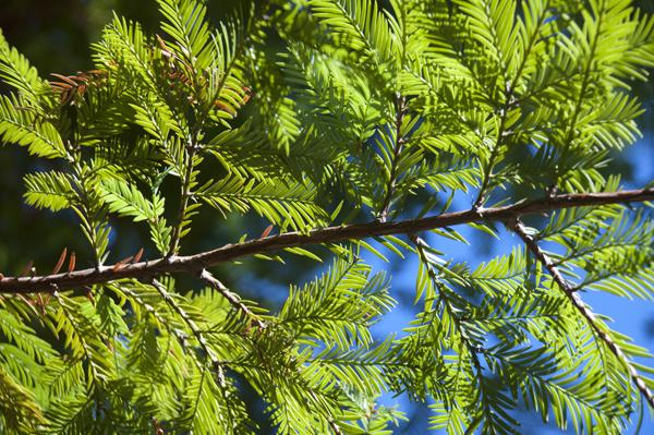 HumboldtRedwoodSPe_sep2010 (345)_600.jpg