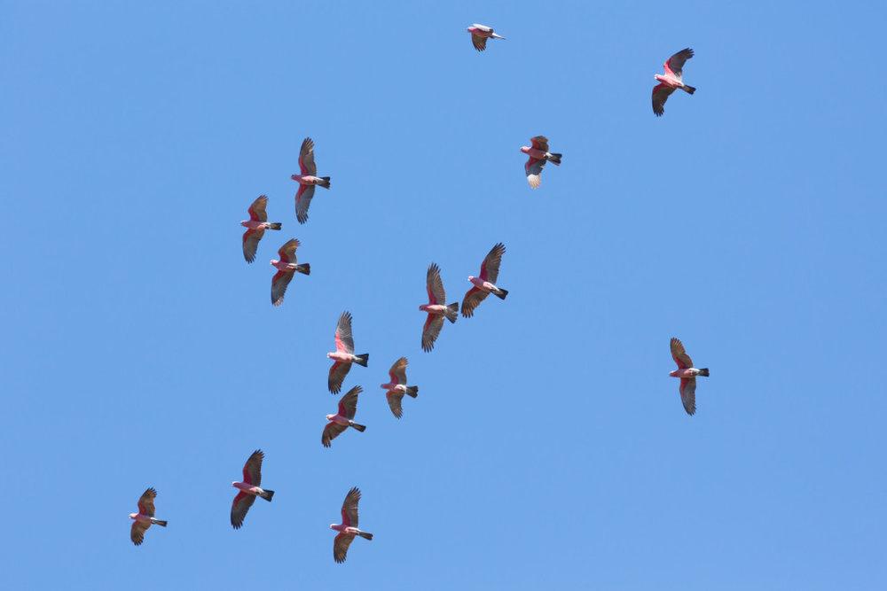 galahs flying