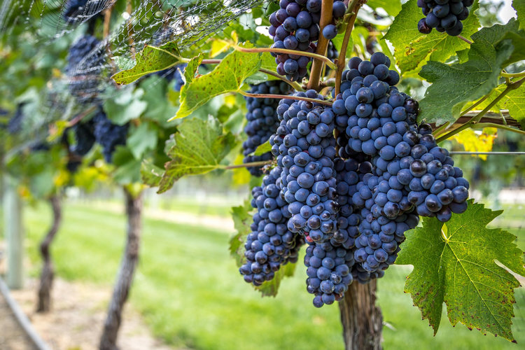 Pinot Noir - from the French words 'black pine' (these grapes grow tightly clustered in pine cone-shaped bunches, and - you guessed it - they're black).