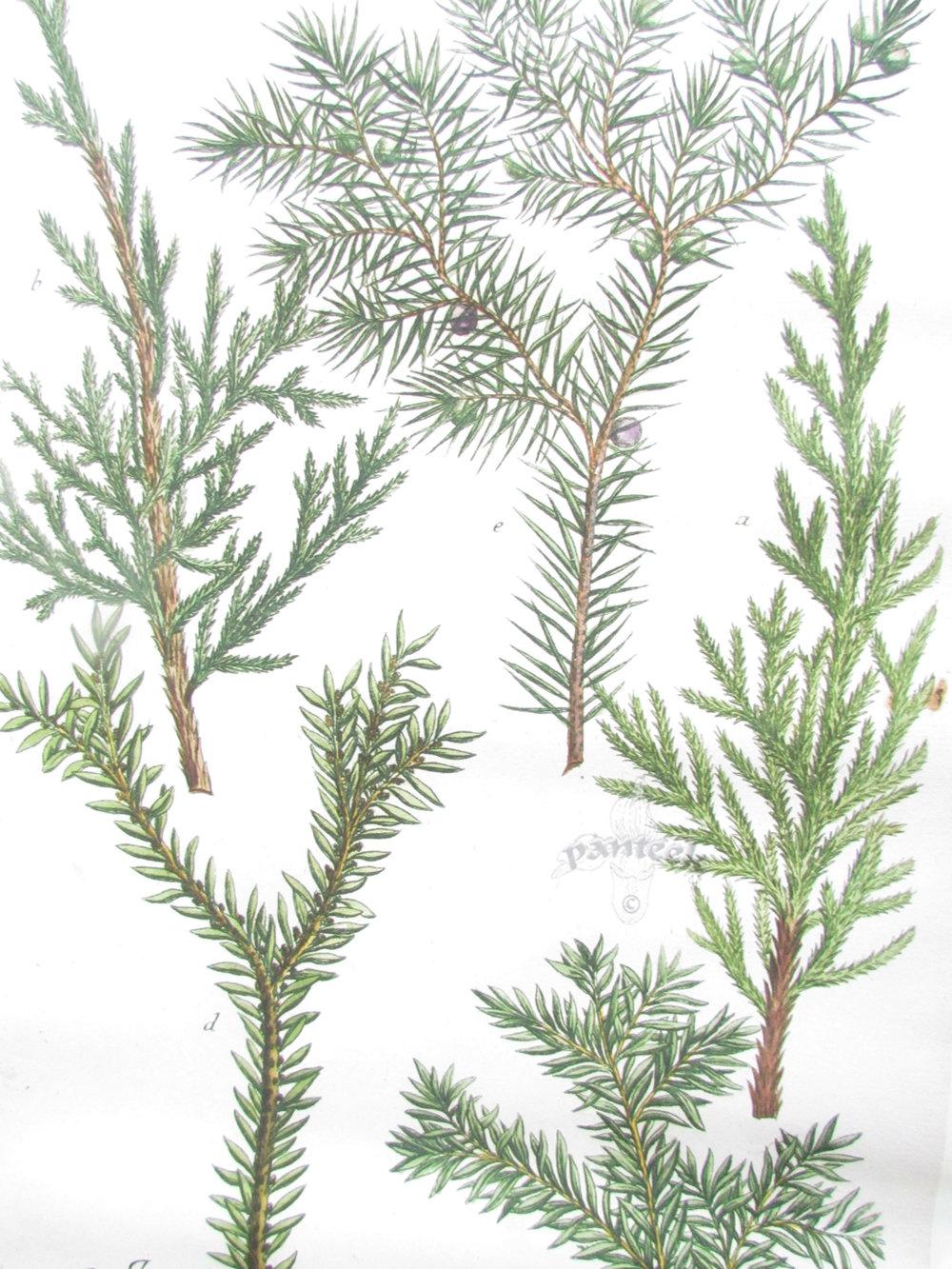 DIY Hanging Juniper Botanical Print2.jpg