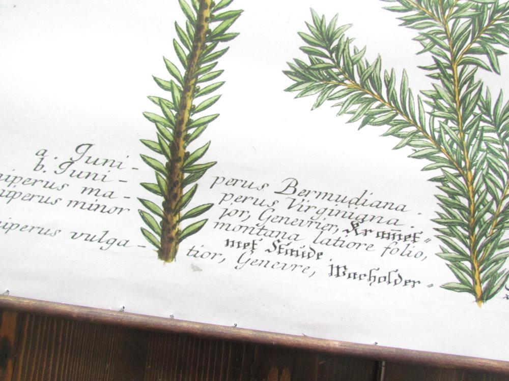 DIY Hanging Juniper Botanical Print