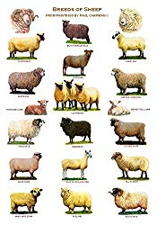 Breeds of Sheep Poster