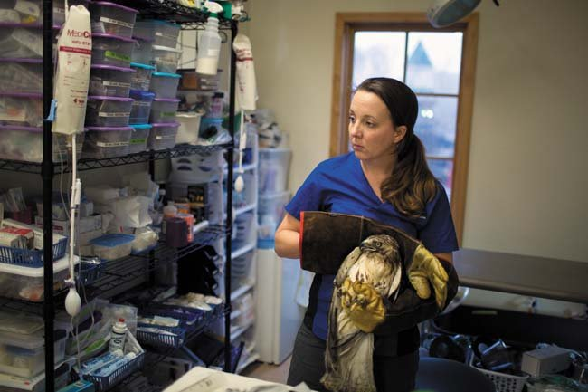 Founder and director Melissa Stanley prepares to move a red-tailed hawk back to its enclosure after its evening feeding. (Photo by Chet Strange)