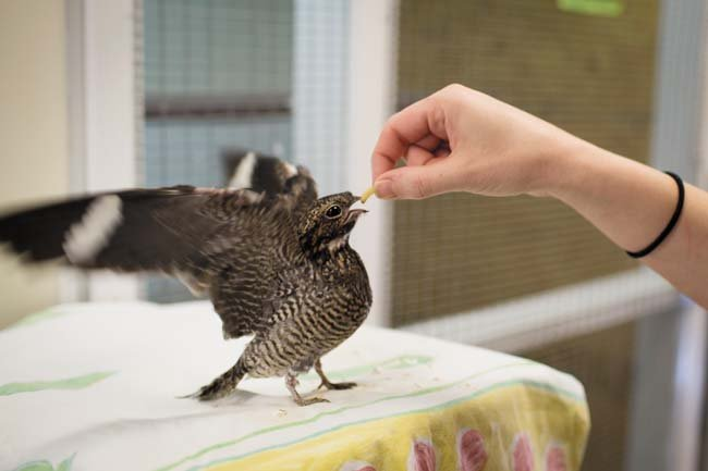 Stanley feeds a nighthawk. (Photo by Chet Strange)