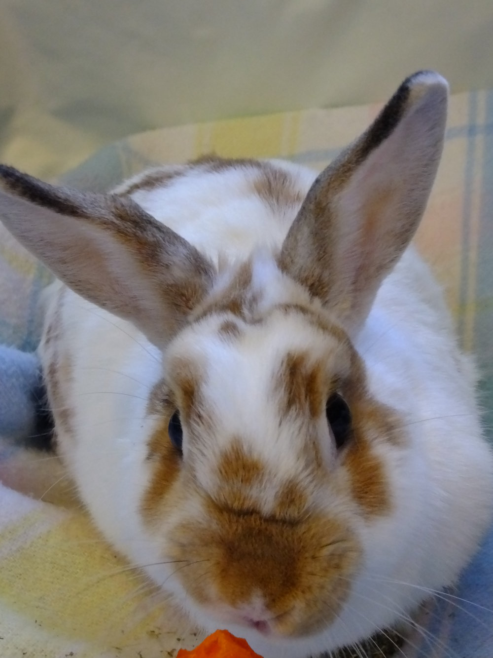 Domestic rabbit 17-0257 (f) (13).JPG