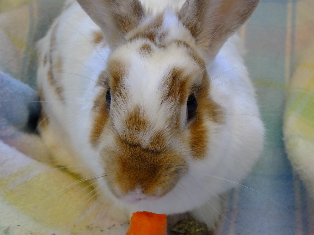Domestic rabbit 17-0257 (f) (11).JPG