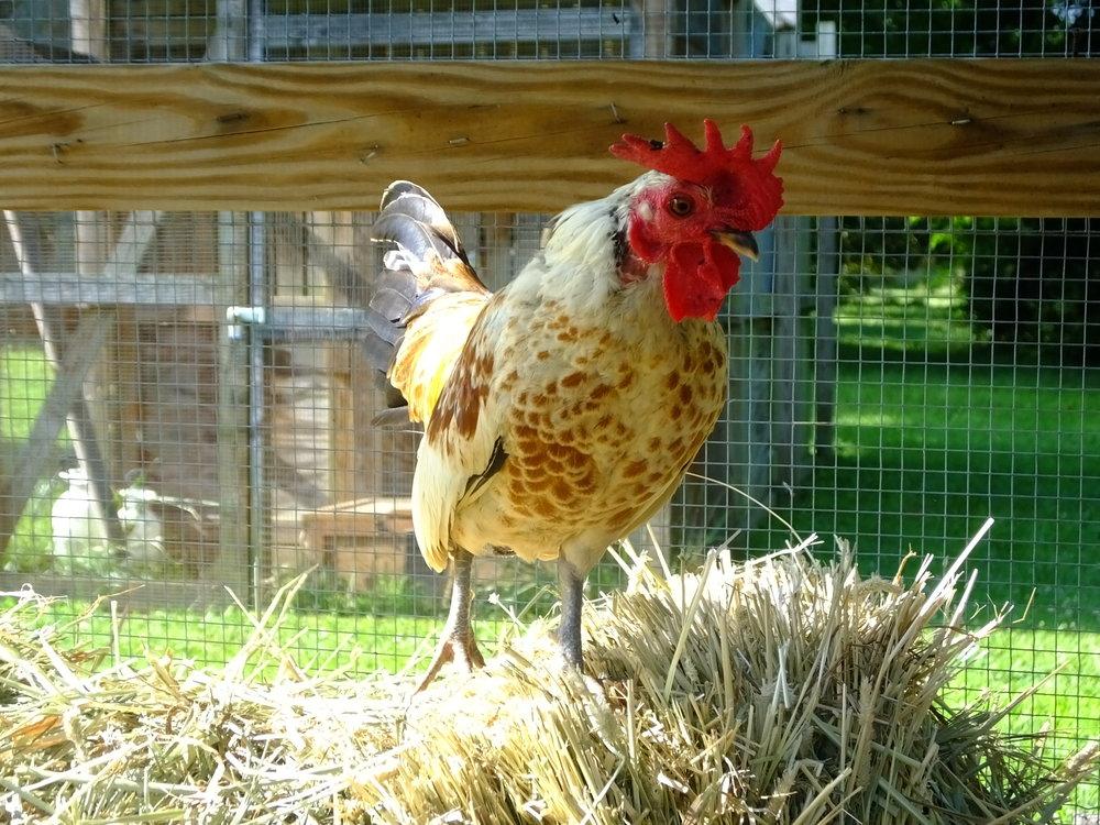 rooster 17-0290  (142).JPG
