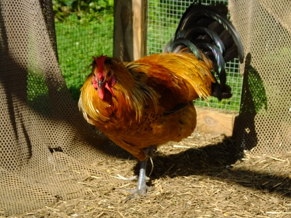 Rooster 17-0319 (42).JPG