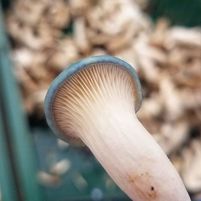 Now you know why they are called Blue Oyster Mushrooms! Look at that beautiful color! #oystermushrooms #mushrooms #mycology #fungi #superfood #vegan #healthfood #coloradofood #colorado #northerncolorado #fortcollins #milehighcity #foodie #bouldercolorado #longmont #longmontcolorado #farmersmarket #healthy #coloradofoodie #gourmetmushrooms #coloradolocal #windsorcolorado #savetheplanet #healthfood #fortcollins