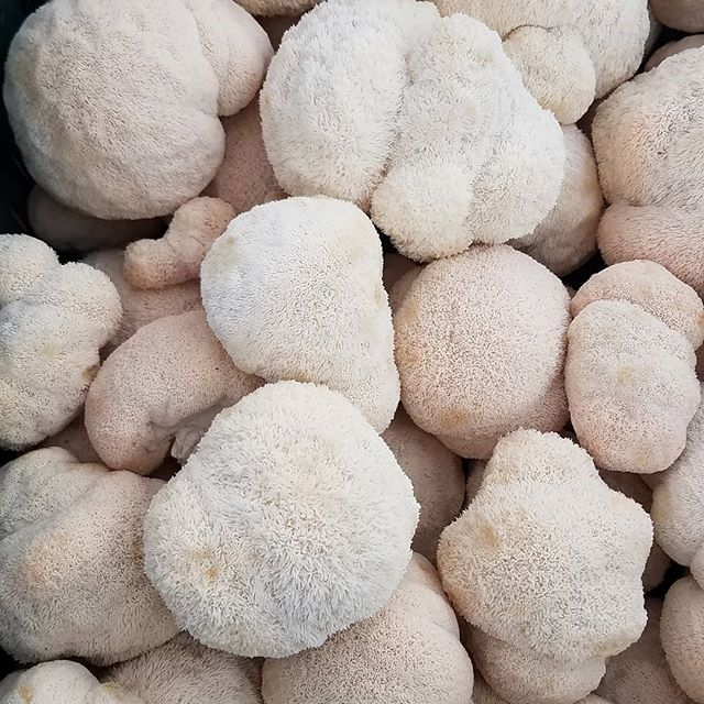Take care of your brain with the mushroom that looks like a brain! Lions mane is showing potential to prevent Alzheimer's disease and create neurogenesis! Plus it tastes delicious! Great in soups and stir fry! #neurogenesis #neuroscience #mycology #coloradofood #coloradolocal #superfood #healthfood #lionsmanemushroom #lionsmane #foodie #bouldercolorado #boulder #bouldervegan #vegan #healthfood #fortcollins #northerncolorado #longmontcolorado #denver #denverfood #paulstamets