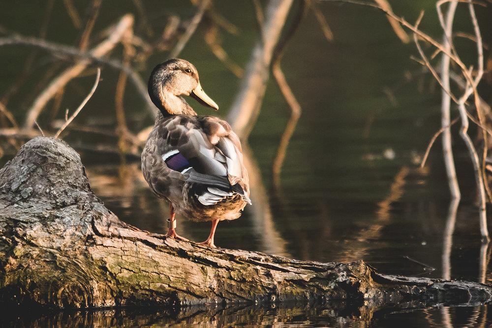stock-duck1.jpg