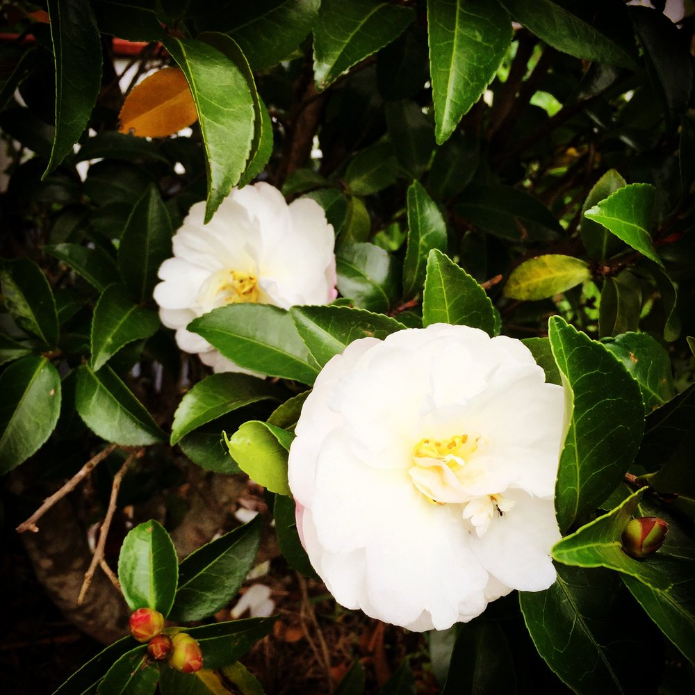 Camelia's Blooming