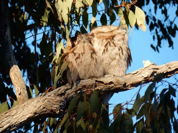 Resident Tawny Frogmouths at Diamondvale