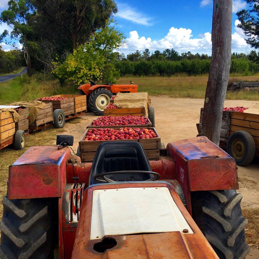 Sutton's Apple Farm Harvest